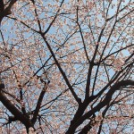 Sakura at Ueno Park – The cherry trees