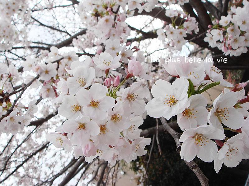 sakura-sakura