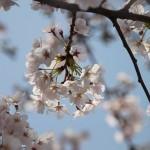 Sakura 2010